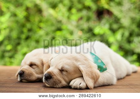 Labrador puppies lying side by side, sleeping on wooden deck - on green foliage background, close up