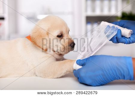 Veterinary healthcare professional hands put bandage on cute labrador puppy leg - close up