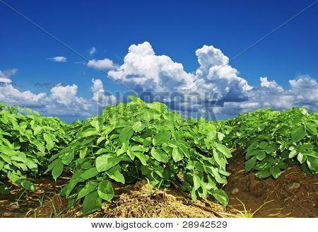 Close up of a potato field
