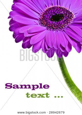 Abstract close up of a purple pink daisy gerbera