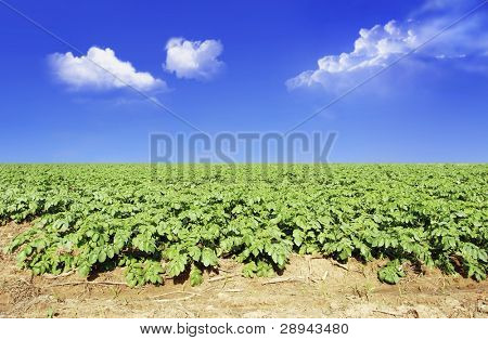 Potato field against blue sky and clouds in sunlight
