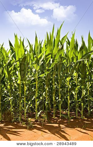 Beautiful green maize on the field