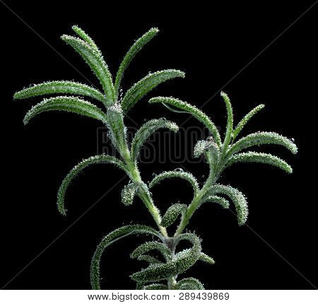 Concept Of Preserving Freshness Of Herbs. A Branch Of Rosemary Macro In Soda Water With Droplets Iso