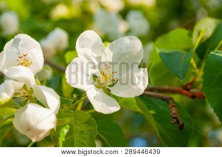 Spring white flowers of apple tree blooming in the garden. Natural spring flower landscape