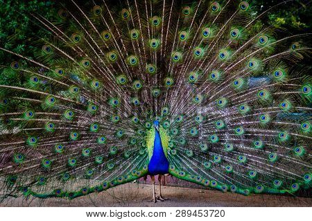 Beautiful Peacock Bird Fanning Out His Brilliant Colorful Tail Feathers