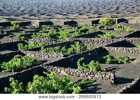 Lanzarote Vineyards Build On Lava, La Geria Wine Region, Malvasia Grape Vine. Canary Islands, Spain