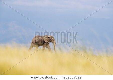 Low level shot of a single elephant walking through the soft long grass of Amboseli National Park, Kenya. Blue sky background with space for text.