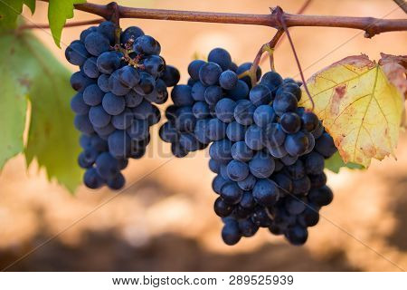 Ripe Purple Grapes With Leaves In Natural Condition, The Vineyard Of Puglia Of Primitivo Grape Grows