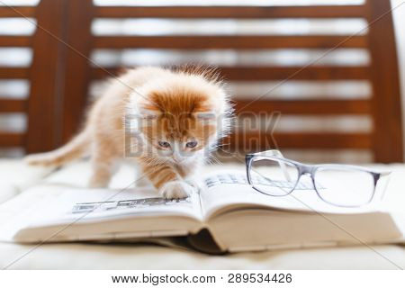 Little Adorable Sunny Fluffy Cute Ginger Cat Carefully Reading The Book, On Top Of Book Lying Glasse