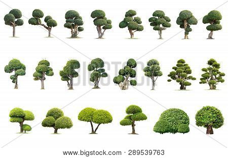 Tako Trees Bending.isolated Tree On White Background , The Collection Of Trees.tree Database Botanic