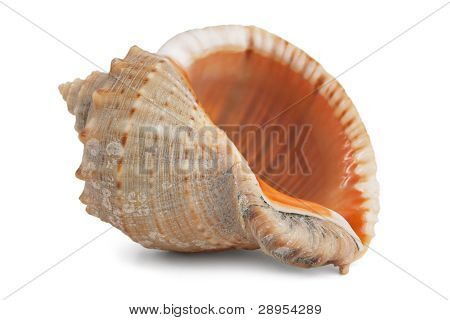 Small Ocean Shell With Mother Of Pearl