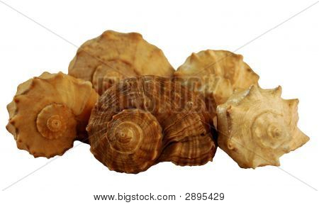 Shells From Black Sea