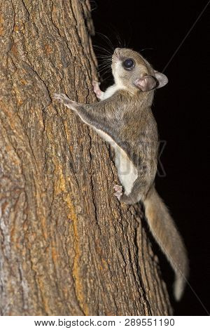 A Southern Flying Squirrel On A Tree