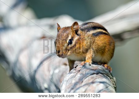 A Small Chipmunk Foraging For Something To Eat