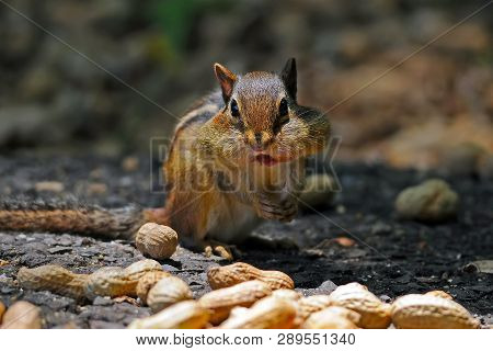 A Chipmunk Stuffing His Cheeks With Peanuts