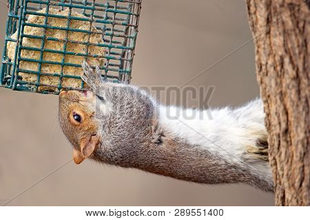 An Eastern Gray Squirrel Eating Suet Cake