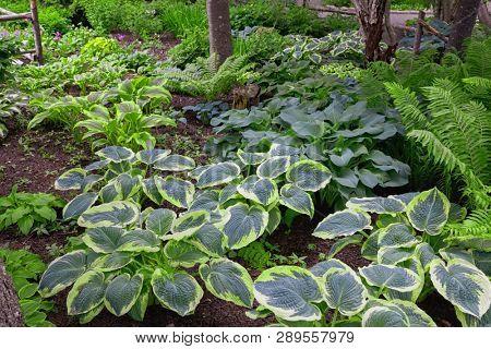 A variety of hostas in a shade garden.