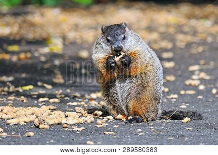 A Large Groundhog Eating Some Peanuts With Hands