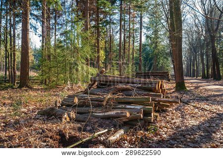 Stack Of Tree Trunks In The Forest Waiting For Transport. The Photo Was Taken In A Dutch Nature Rese