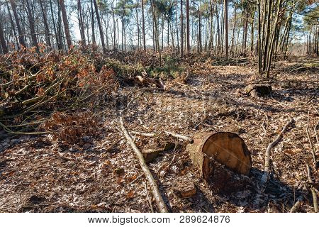 The Forest After The Felling Of The Trees. The Photo Was Taken In A Dutch Nature Reserve On A Beauti