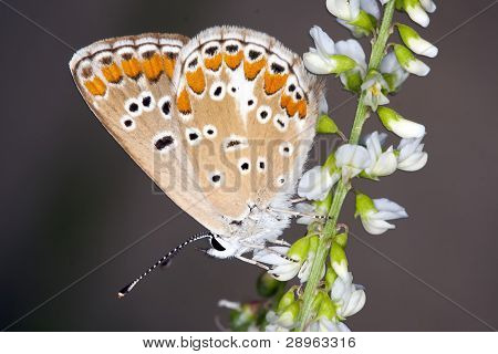 Butterfly Lycaedes