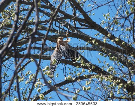 A Red Shoulder Hawk Hangs Onto A Snake That Is Trying To Bite The Hawks Legs.the Snake Has Wrapped I