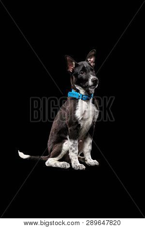 pooch dark dog in collar isolated on black poster