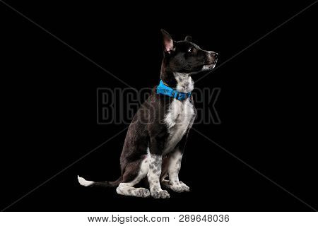 pooch dark dog in blue collar isolated on black poster