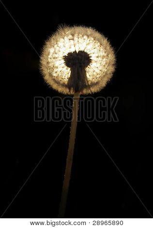 Light Getting Through A Dandelion On A Black Background.