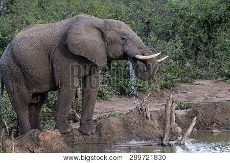 African Elephant, Loxodonta africana , looking right with trunk curled into mouth and ivory tusks pointing up. Kruger National Park, South Africa poster