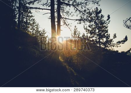 Sunset In Pine Forest Nature Background. Dark Background Of Pine Forest.last Sun In Forest Nature. S