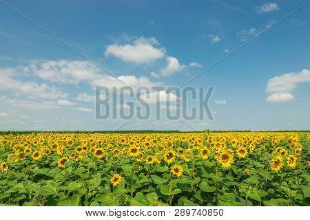 Sunflower Agricultural Landscape Background. Close Up Of Sunflowers Field Background. Sunflowers Fie
