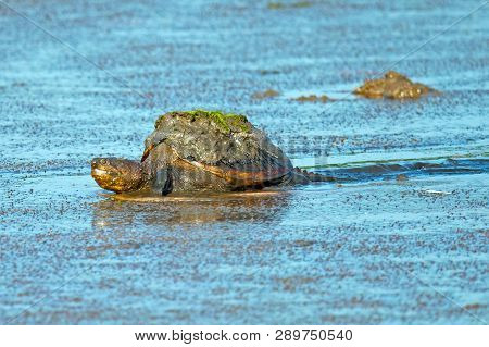 A Large Snapping Turtle In The Marsh