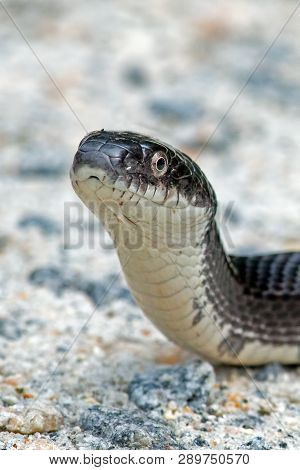 A Black Rat Snake Crossing The Dirt Road