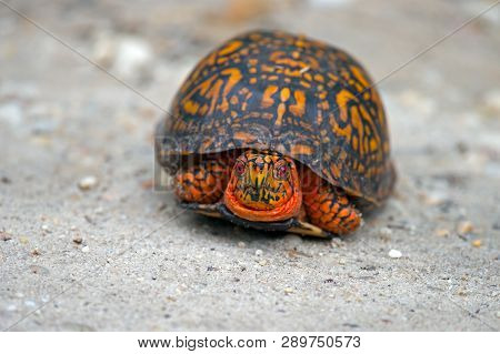 A Box Turtle Walking Along A Dirt Road
