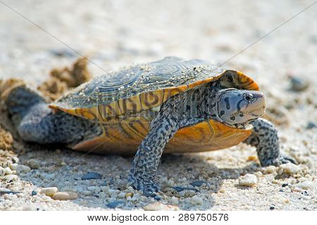 A Diamondback Terrapin Turtle Laying Eggs On Dirt Road