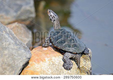 A Diamondback Terrapin Sitting On A Rock