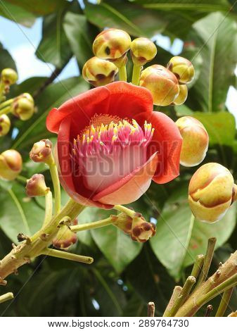 Close-up Of A Cannonball Tree Flower (couroupita Guianensis), An Exuberant Flower, With Buds. Strang