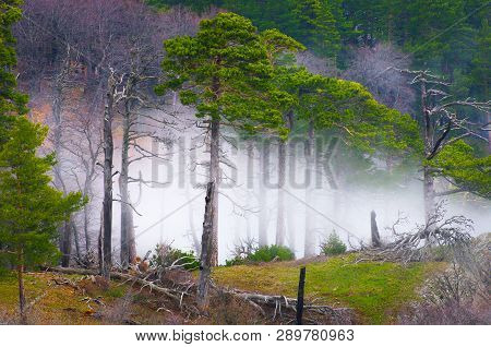 Mountain Conifer Forest In Misty Weather.landscape With Evergreen Conifer Forest In Spring.