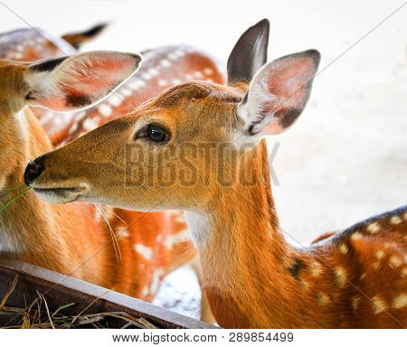 Young Spotted Deer Animals Wildlife Eating Grass On Farm / Other Names Chital , Cheetal , Axis Deer
