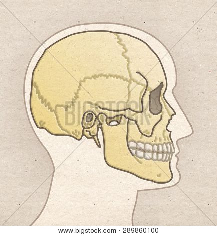 Human Anatomy drawing Profile Head with SKULL