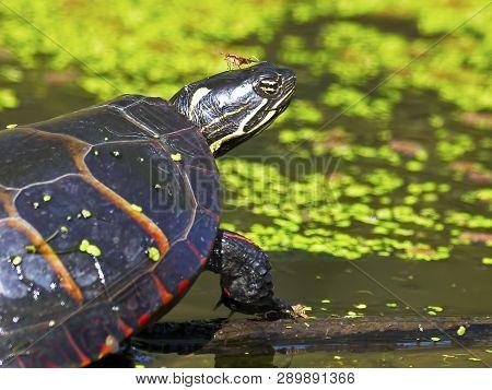 Eastern Painted Turtle Sitting On Log In Water