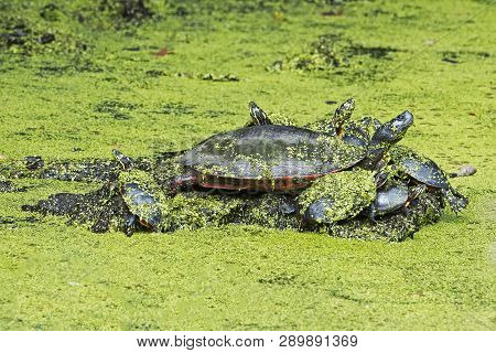 A Group Of Redbelly Turtles Sitting In Pond