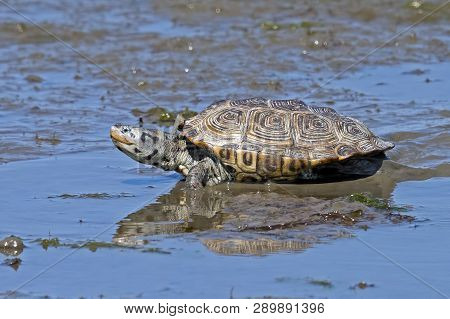 A Diamondback Terrapin Turtle Walking In Marsh