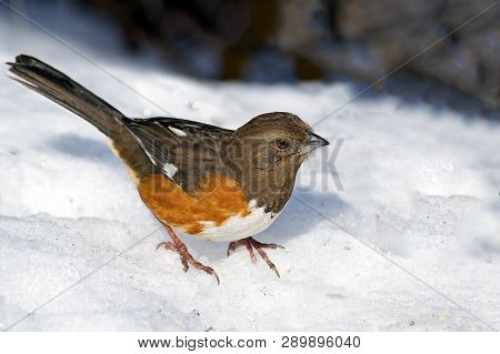 Female Eastern Towhee Standing In The Snow