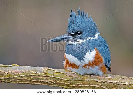 A Female Belted Kingfisher Sitting On Branch