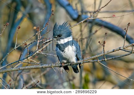 A Male Belted Kingfisher Sitting On Branch