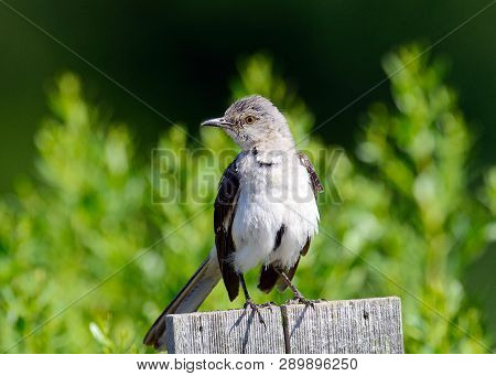 A Northern Mockingbird Standing On A Fence