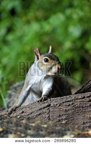 Eastern Gray Squirrel Sitting On A Stump
