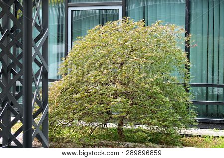 Japanese Maple Tree Seiryu With Dissected Leaves Growing As Small Tree In Urban Business District